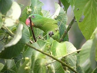 Blue-naped parrot - Image: Tanygnathus lucionensis Luzon Philippines 8