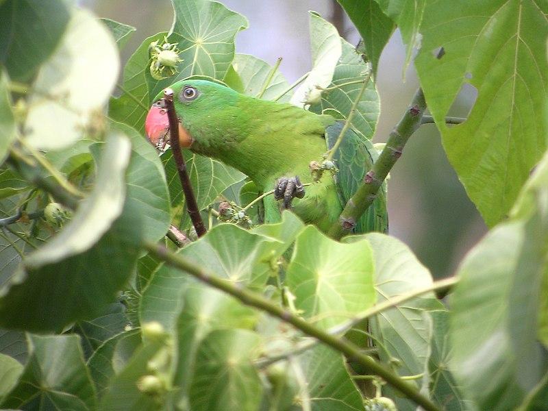 File:Tanygnathus lucionensis -Luzon -Philippines-8.jpg
