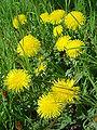Taraxacum officinalis DSC02036.JPG
