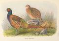 Tarim Pheasant by H. Jones.png
