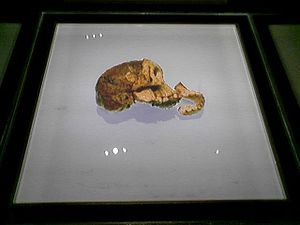 Taung - The Taung Child skull as seen when it was exhibited at the Maropeng visitor's centre at the Cradle of Humankind in early 2007.