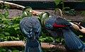 Tauraco leucotis (Weißohrturako - White-cheeked Turaco) - Weltvogelpark Walsrode 2013-04.jpg
