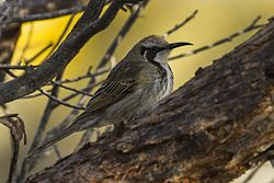 Tawny-crowned Honeyeater - Little Desert NP - Victoria S4E4723 (22421885971).jpg