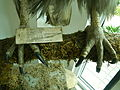 Taxidermied Philippine Eagle - Pithecophaga jefferyi - Ninoy Aquino Parks & Wildlife Center 03.jpg