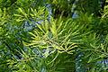 Taxodium distichum-IMG 8664.jpg