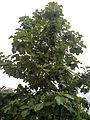 Teak trees of Salem.jpg