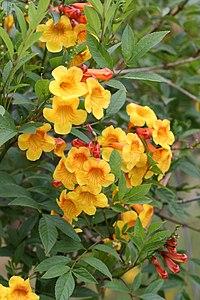 T. fulva ssp. guarume 'Flaming Belles'