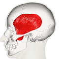 Temporal muscle - lateral view.png