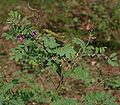 Tephrosia purpurea (Wild Indigo) in Narshapur, AP W IMG 0780.jpg