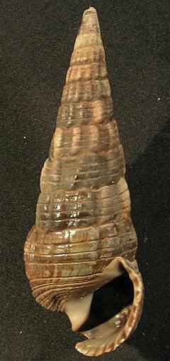 240px terebralia palustris 001