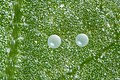 Tetranychus urticae eggs (4883553001).jpg