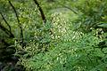 Thalictrum aquilegifolium 08.jpg