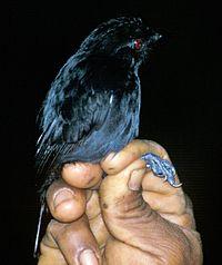 Thamnophilus aethiops.jpg
