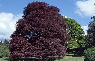 Coole Park - Image: The Autograph Tree (a purple leaved beech) in the walled garden at Coole Park, Co. Galway. geograph.org.uk 65154