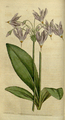 The Botanical Magazine, Plate 12 (Volume 1, 1787).png
