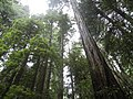 The Canopy of Trees in Muir Woods.JPG
