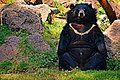 The Himalayan black bear (Ursus thibetanus) is a rare subspecies of the Asiatic black bear. 26.jpg