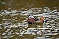 The Mandarin Duck of St. Ferdinand Park (45767795921).jpg