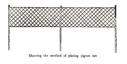 The Passenger Pigeon - Mershon (p121 cropped).png