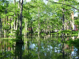 Cypress Lake (Lafayette, Louisiana) - Image: The Swamp 1