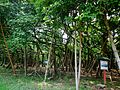 The great banyan tree- 03.jpg