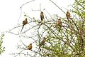 The group of red-faced mousebirds.jpg