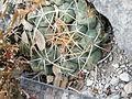 Thelocactus hexaedrophorus (5727397556).jpg