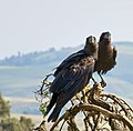 Thick-billed Raven Courtship, Simien Mountains, Ethiopia (2457853841).jpg