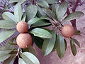Three Manilkara zapota with some leaf.jpg