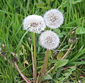 Three dandelions that have seed in Holland.JPG