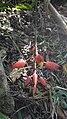 Thunbergia mysorensis at ranipuram.jpg