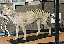 Loup de Tasmanie dans LOUP 220px-Thylacine-tring
