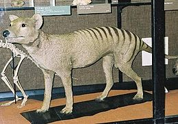 Kitömött erszényesfarkas (Walter Rothschild Zoológiai Múzeum, Anglia)