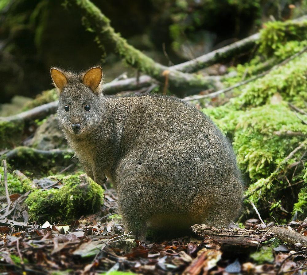 The average litter size of a Tasmanian pademelon is 1