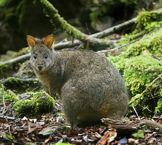 Tasmanian pademelon - Mt Field National Park