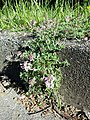 Thymus odoratissimus sl27.jpg