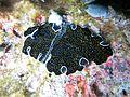 Thysanozoon nigropapillosum Maldives.JPG