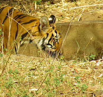 Tiger cub of tadoba.jpg