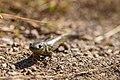 Tiger salamander, Swan Lake Flat (9c65dc05-9362-4c6a-b5ae-c31a5277ee56).jpg