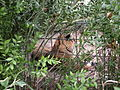 Tigers in ZooParc de Beauval 3.JPG