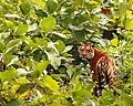 Tigress at K.Gudi National Park.JPG