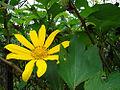 Tithonia diversifolia, the Girasol Mexicana. (9439105580).jpg