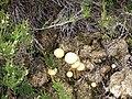Toadstools on Black Crag - geograph.org.uk - 833174.jpg