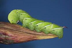 Tobacco Hornworm 1.jpg