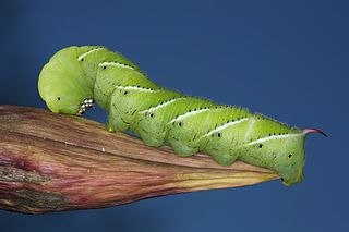 <i>Manduca sexta</i> species of moth of the family Sphingidae present through much of the American continent