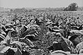 Tobacco field, Henry Stultzfus farm, Lancaster County, PA, 1938 by Sheldon Dick.jpg