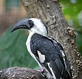 Tockus deckeni -London Zoo, England -female-8a.jpg