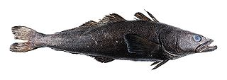 Patagonian toothfish species of fish