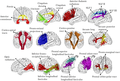 Tracts of human brain.png