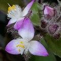 Tradescantia-flower.tif